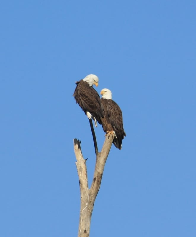 Reelfoot Lake Eagle Tours